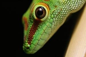 Runde Pupille Phelsuma Grandis