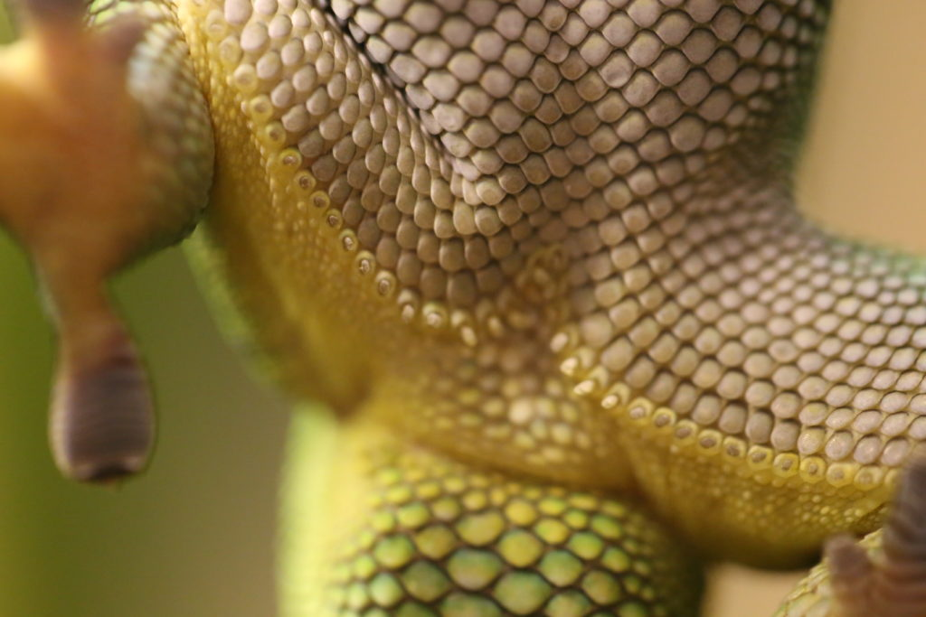 Präanofemoralporen eines männlichen Phelsuma Grandis