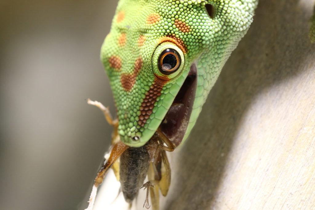Gecko frisst Heimchen | Ernährung Phelsuma Grandis